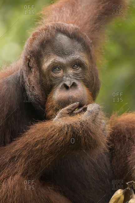 Juvenile Male Bornean Flanged Orangutan Hanging from Trees