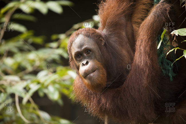 Bornean Orangutan Hanging from Tree Inquisitively