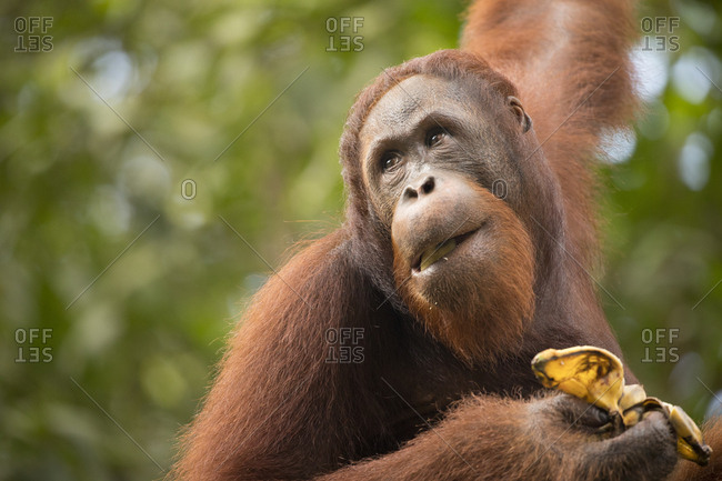 Juvenile Male Bornean Flanged Orangutan Eats a Banana While Looking Around Vigilantly