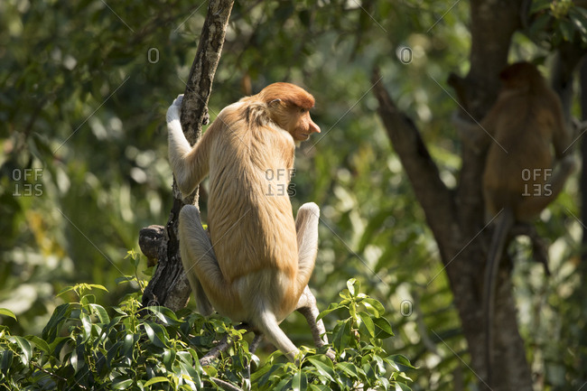 Proboscis Monkey Perches in Tree