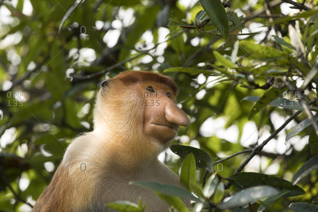 Proboscis Monkey Poses in Trees for Headshot