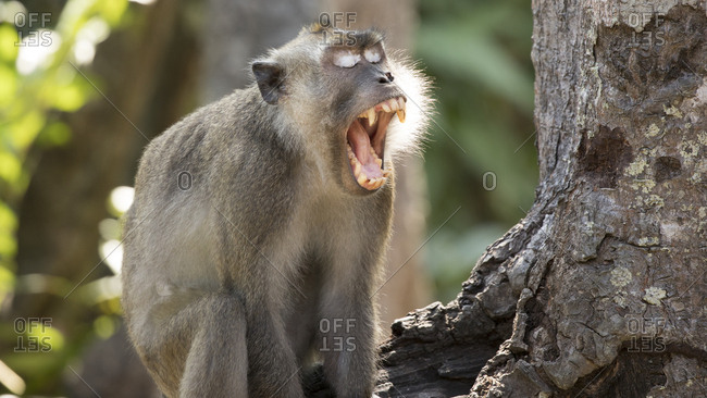 Pigtail Macaque Shows Off His Teeth in Yawn