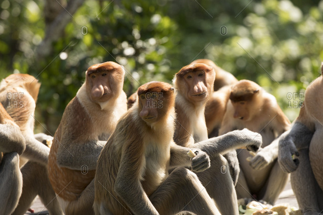 Troop of Proboscis Monkies Turns Startled