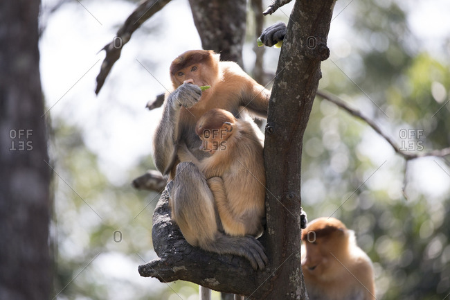 Juvenile Proboscis Monkey Clings to Parent