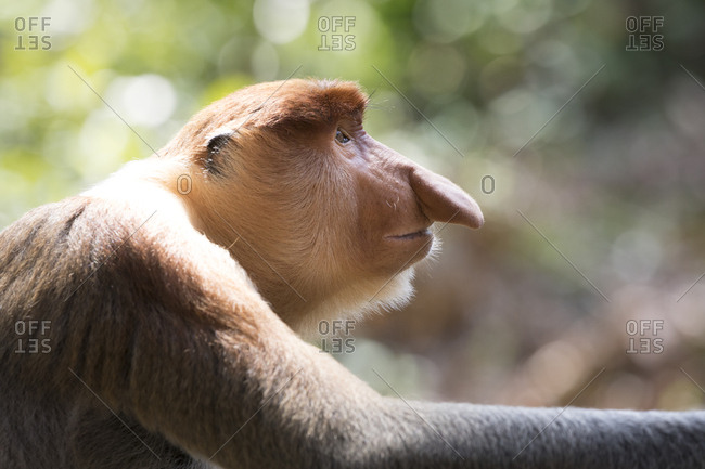 Proboscis Monkey Stares Into Space for Headshot