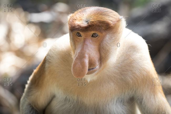 Proboscis Monkey Looks Concerned