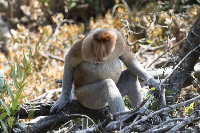 Proboscis Monkey Rests on Fallen Tree branch