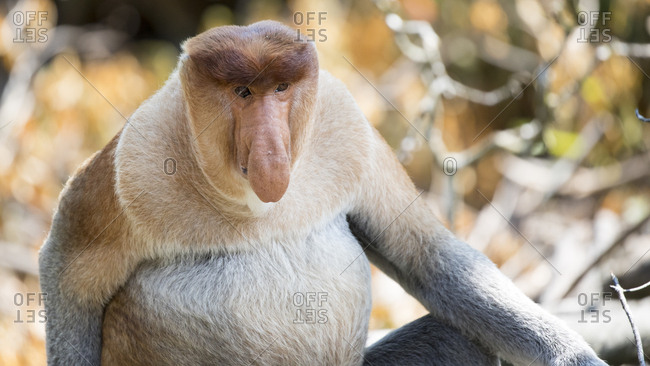 Proboscis Monkey Gazes On to Strike a Pose