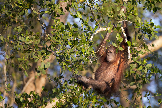 Bornean Orangutan Swings in the Treetops