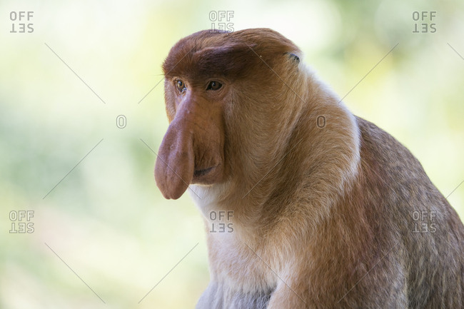 Proboscis Monkey Poses for a Close-up Shot