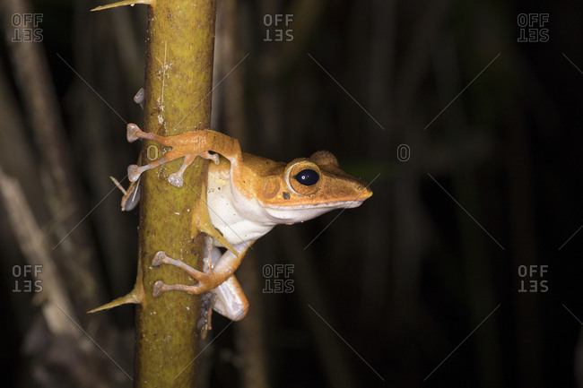 Harlequin Tree Frog Clings to Tree in Borneo