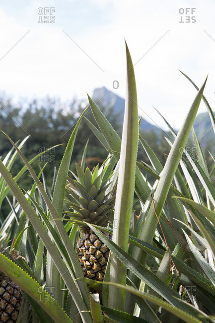 Pineapple plants growing on plantation in Mo'orea