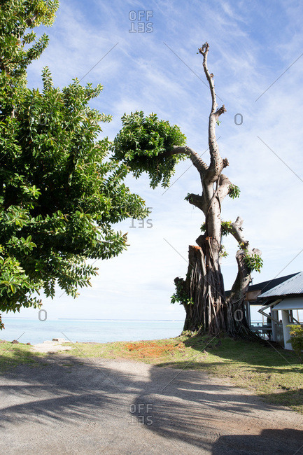 Gnarled tree at end of country road leading to the beach in Tahiti