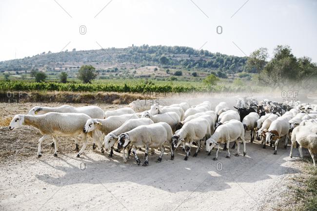 Flock of sheep in rural Spain