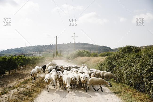 Flock of sheep on dirt road in rural Spain