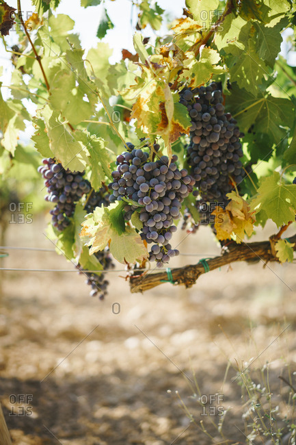 Close up of purple grapes growing on a vine in Spain