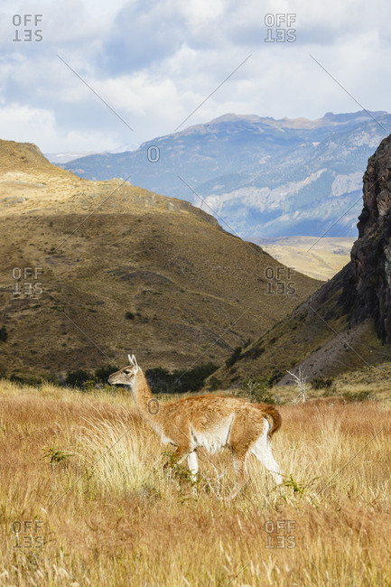 Wild Guanaco (Lama guanicoe) at the Chacabuco Valley, Parque Patagonia, Aysen Region, Chile