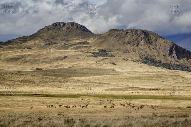Wild Guanaco (Lama guanicoe) at the Chacabuco Valley, Parque Patagonia, Aysen Region, Chile