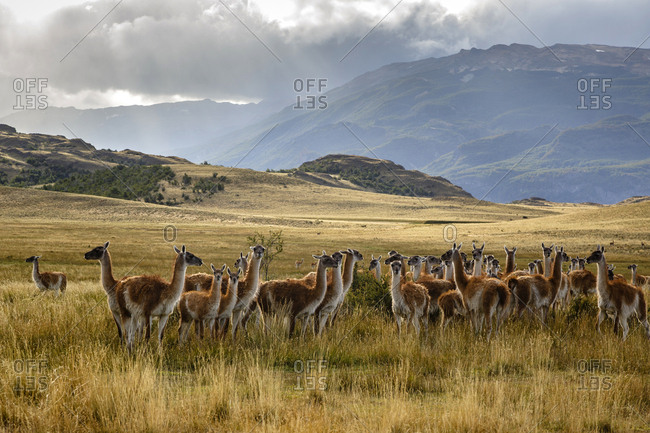 Wild Guanacos (Lama guanicoe) at the Chacabuco Valley, Parque Patagonia, Aysen Region, Chile