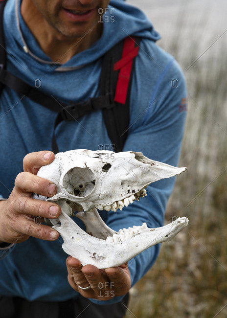 Patagonia, Aysen Region, Chile - February 15, 2016: Man holding animal skull at Parque Patagonia