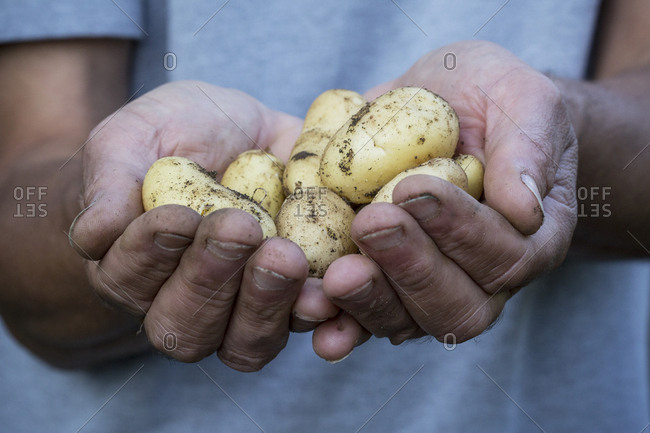 Close up of person holding freshly harvested potatoes.