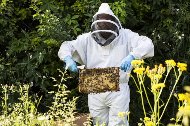 Beekeeper wearing protective suit at work, inspecting wooden beehive.