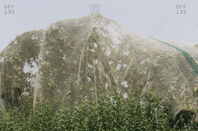 Protective mesh fabric covering apple trees bearing young fruit in summer in a commercial orchard. Pesticide-free farming and food production.