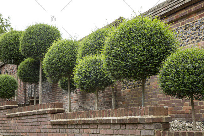 Box trees with spherical tops growing along a red brick wall.