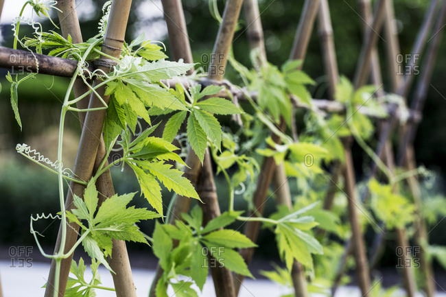 Close up of climbing plant with leaves and tendrils wrapped around wooden stakes.