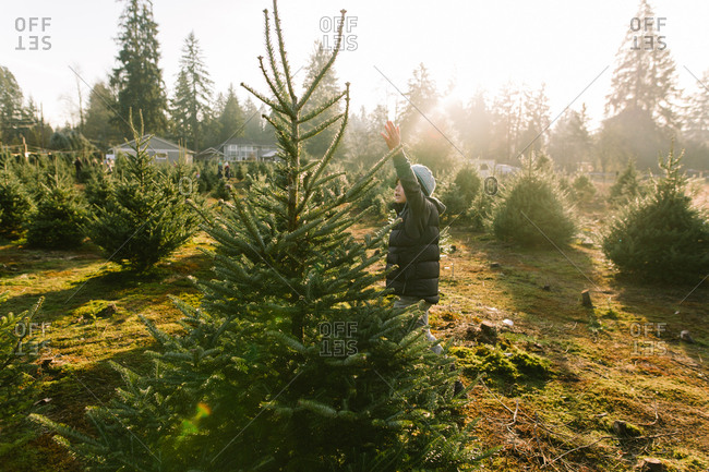 Boy reaching up to touch tree at Christmas tree farm