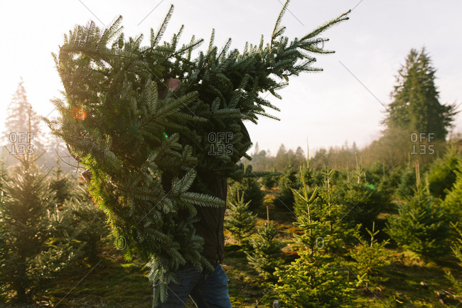 Man carrying a freshly cut Christmas tree