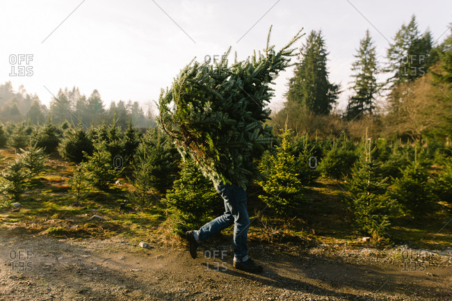 Person carrying a freshly cut tree at Christmas tree farm