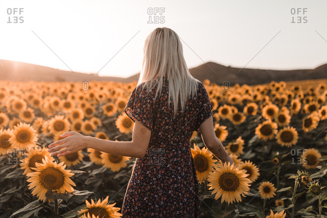 Rear view of young blonde woman with dress walking and touching sunflowers in a sunset of summer