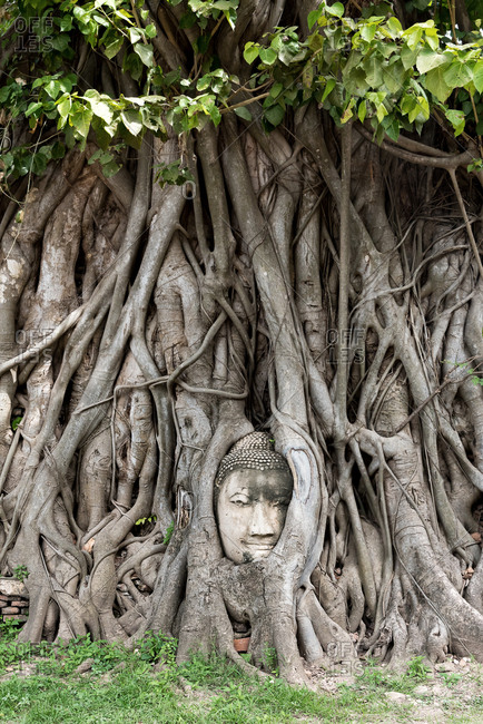 Stone head of Buddha embedded in trunks of trees with green foliage in city of Ayutthaya