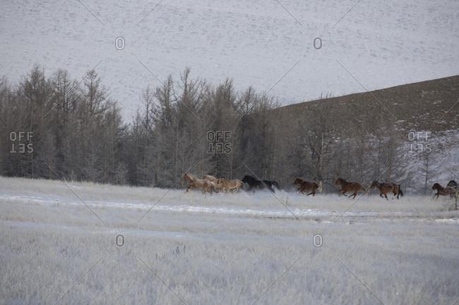 Side view shot of group of horses running in winter scenery, Lake Baikal, Irkutsk Oblast, Siberia, Russia