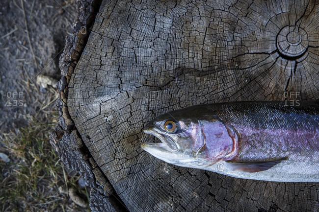 Dead rainbow trout Oncorhynchus mykiss lying on tree stump, Colorado, USA