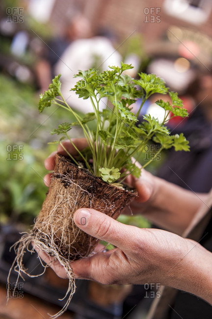 Hands of gardener holding parsley plant with exposed roots, Halifax, Nova Scotia, Canada