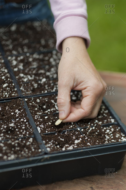 Hand of female gardener planting seeds in seed tray, Halifax, Nova Scotia, Canada