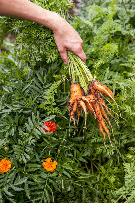 Hand of gardener holding bunch of freshly dug carrots, Halifax, Nova Scotia, Canada