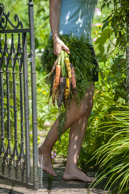 Low section of female gardener walking barefoot with bunch of freshly dug carrots in hand, Chester,?Nova Scotia,?Canada