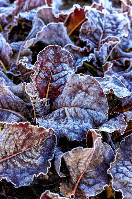 Close-up of frost covered lettuce in a garden in the autumn