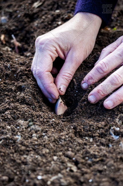 Close up of gardeners hands planting garlic cloves in soil