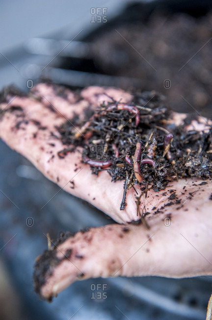 Close up shot of compost, soil and worms on hand of gardener