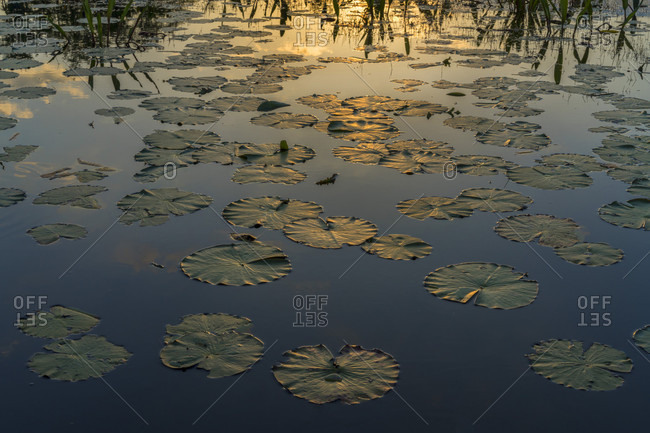 Tranquil scene with water lilies floating on water at sunset, Okefenokee National Wildlife Refuge, Georgia, USA