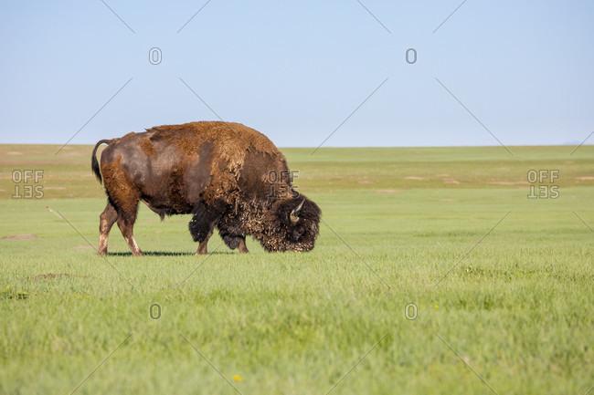 American bison grazing in grassland of Badlands National Park, South Dakota, USA