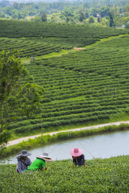 May 25, 2018: View of three women harvesting tea in tea plantation, Nan, Mueang Chiang Rai District, Thailand