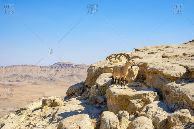 View of single Nubian ibex (Capra nubiana) in Negev Desert, Mitzpe Ramon, Southern District, Israel