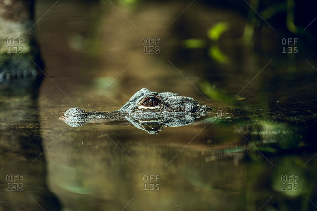 Small crocodile hiding under water near tree while swimming in zoo pond