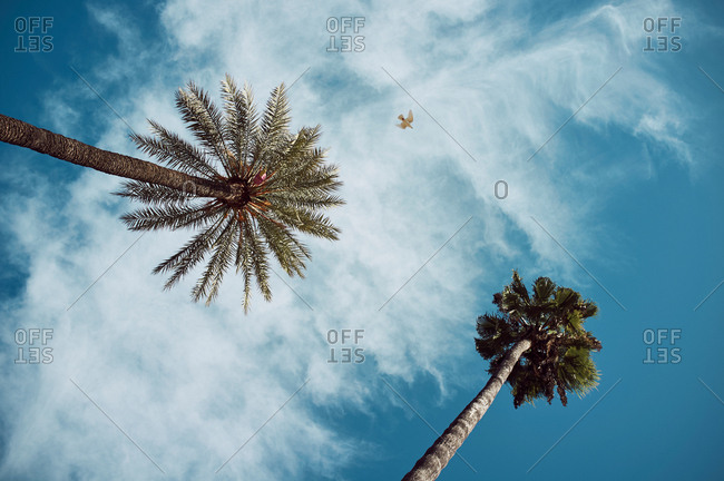 From below view of high tropical palms on background of blue cloudy sky