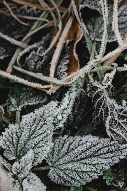 Close-up view of nettle green frost leaves covered hoar tangling with each other